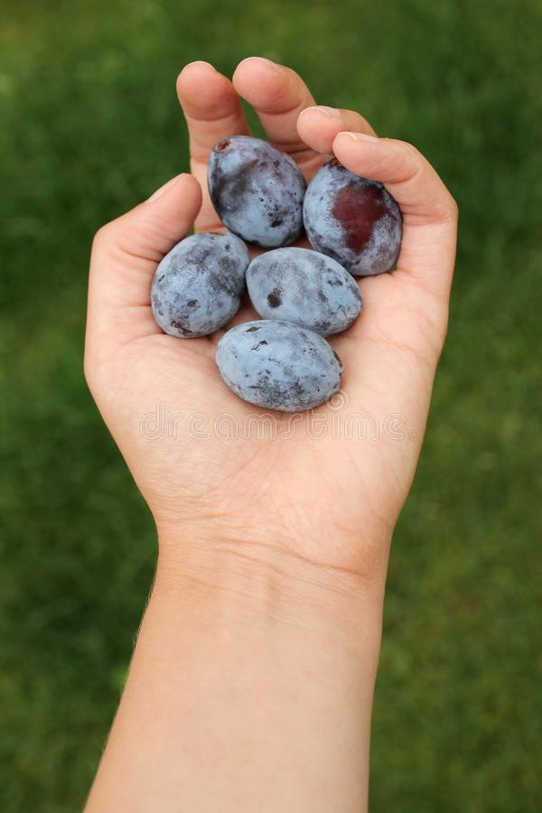 Fresh plums in womans hand royalty free stock photography