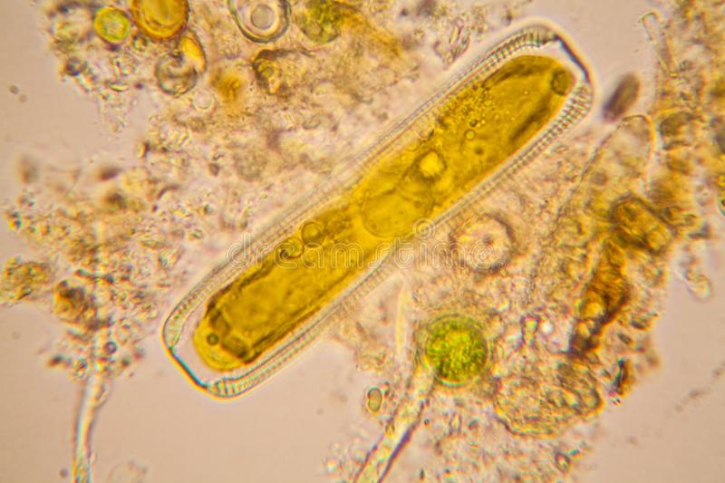 Pond water plankton and algae at the microscope. Diatoms stock image