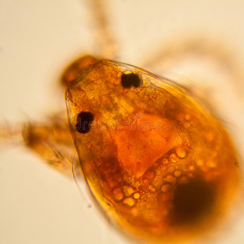 Pond water plankton and algae at the microscope. Pond mite stock photo