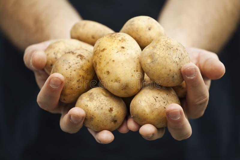 Fresh potatoes on farmers hands royalty free stock photo