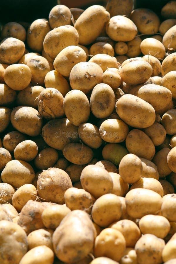 Fresh potatoes right off the farmland, visible soil stock image