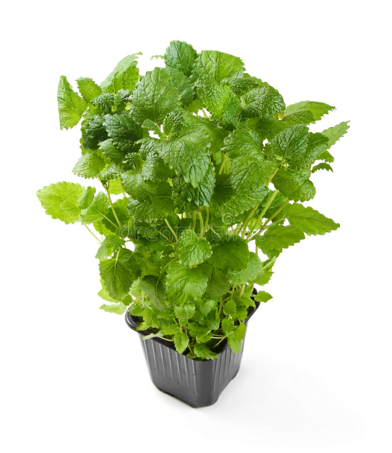 Fresh potted melissa isolated on white royalty free stock photos