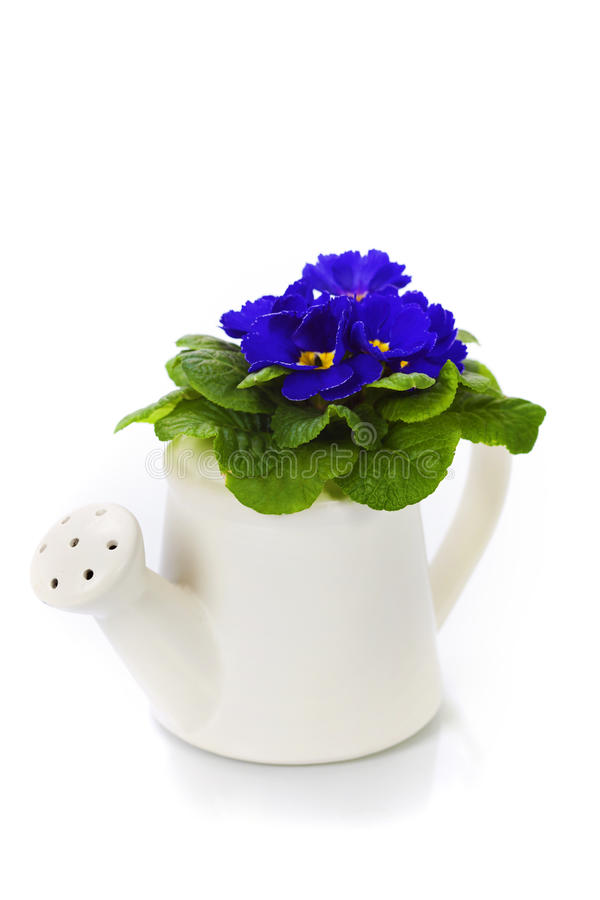 Fresh primula in watering can stock photography