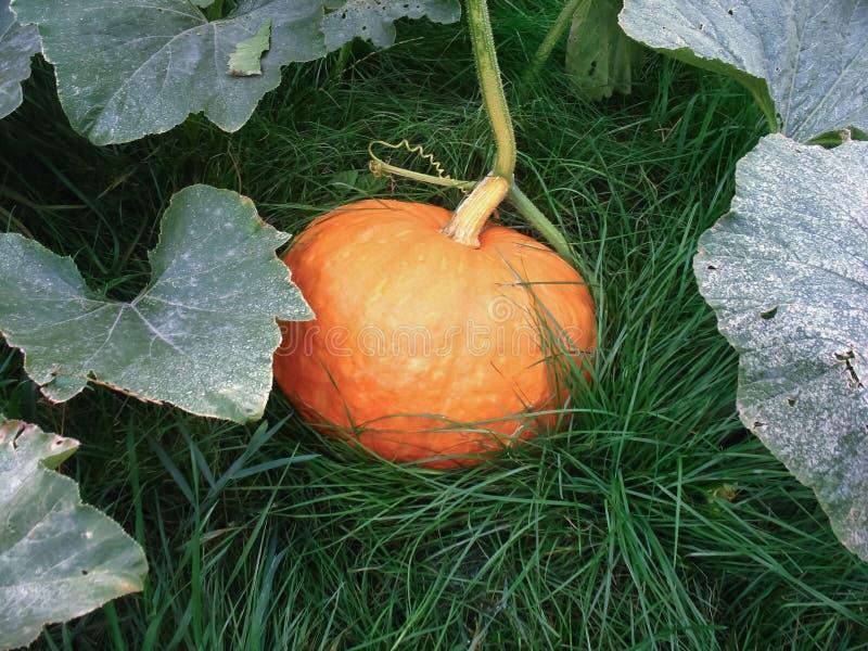 Sweet pumpkin on green grass stock photography