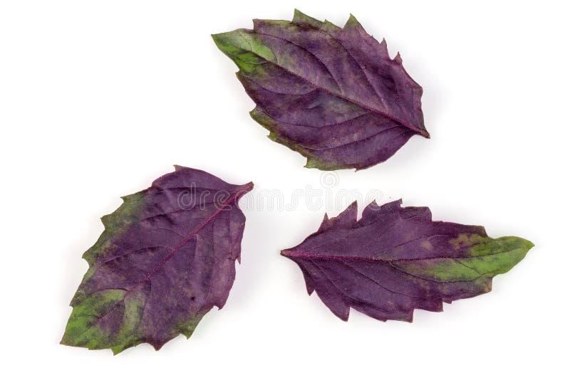 Fresh purple basil leaves isolated on white background.  royalty free stock images