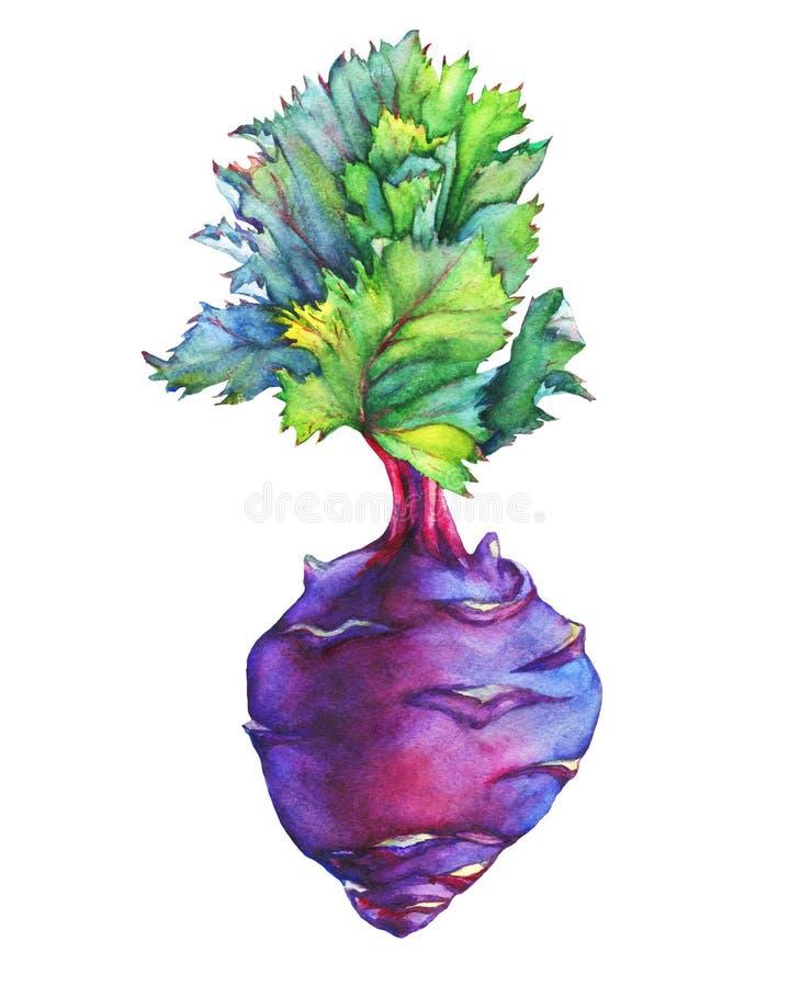 Fresh purple cabbage kohlrabi with green leaves German turnip. stock illustration