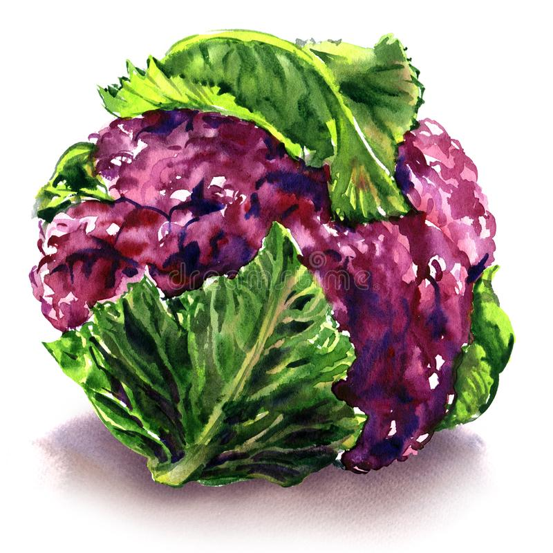 Fresh purple cauliflower with green leaves, isolated object, watercolor illustration on white vector illustration