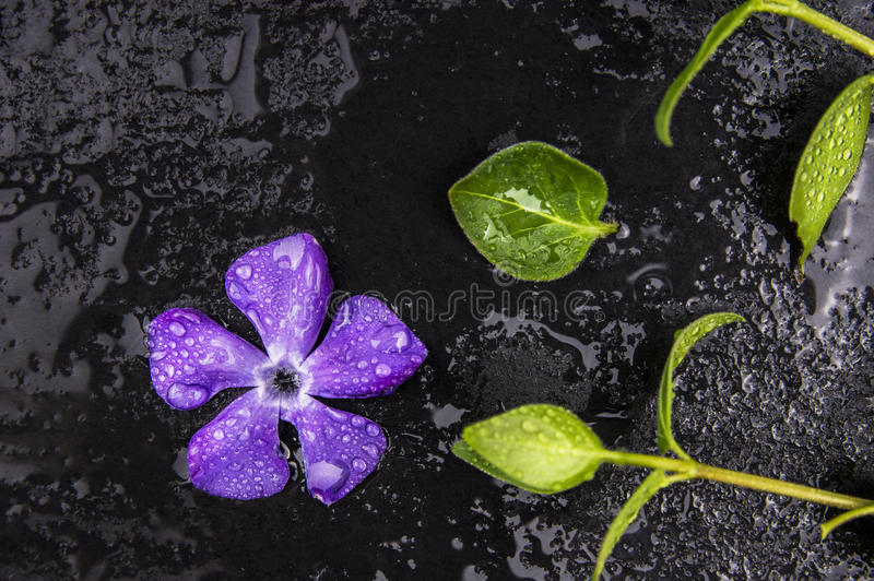 Fresh purple flower and green leaves with drops of water. On black table stock photo
