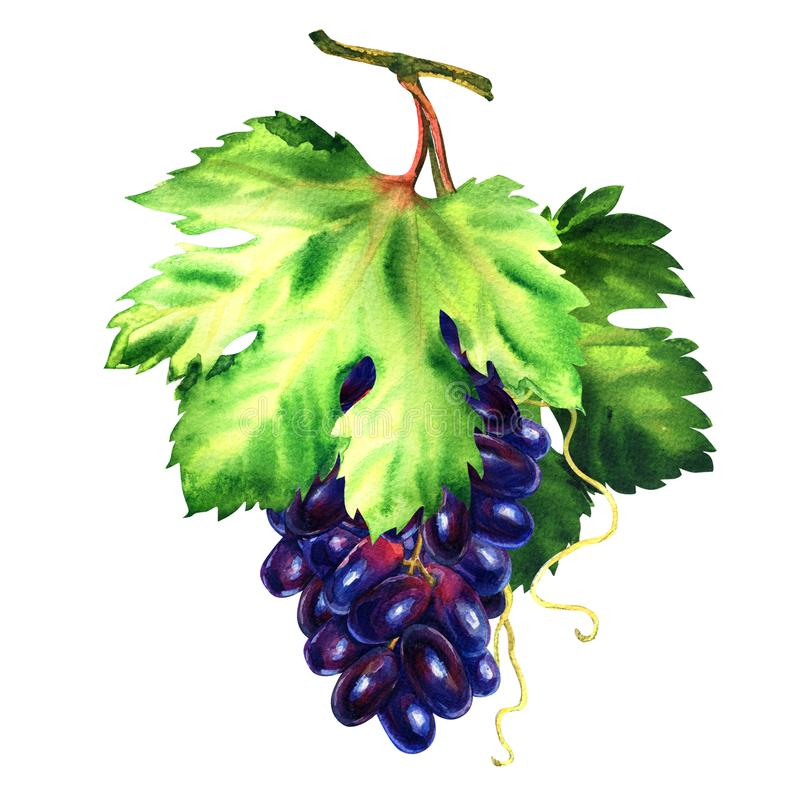Fresh purple grape with leaves, vine branch with leaf, summer harvest, isolated, hand drawn watercolor illustration on. White background royalty free stock photos