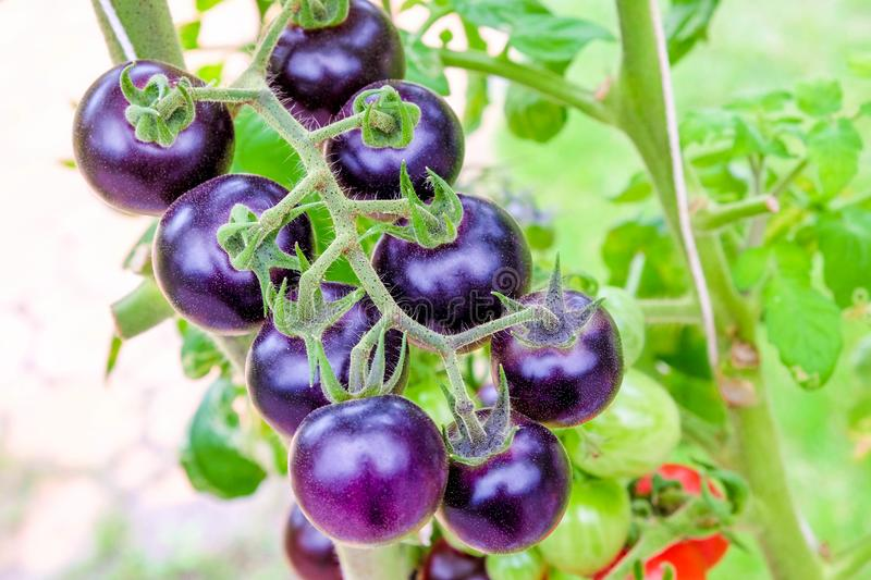 Purple heirloom tomatoes on the vine in a garden. Fresh purple heirloom tomatoes on the vine in a garden stock photography