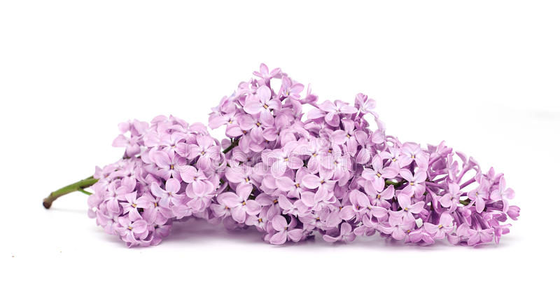 Download Fresh Purple Lilac Royalty Free Stock Photography - Image: 19478987
