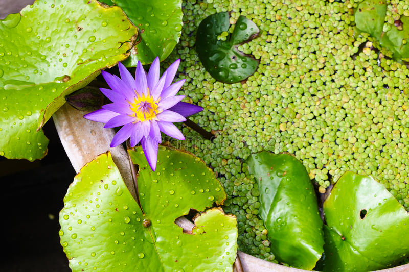 Fresh purple lotus with water fern background stock photography