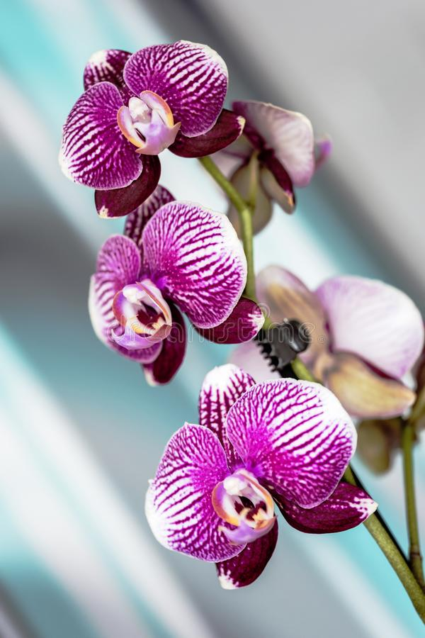 Fresh purple orchid with three nice flowers at home in Luhachov royalty free stock photography