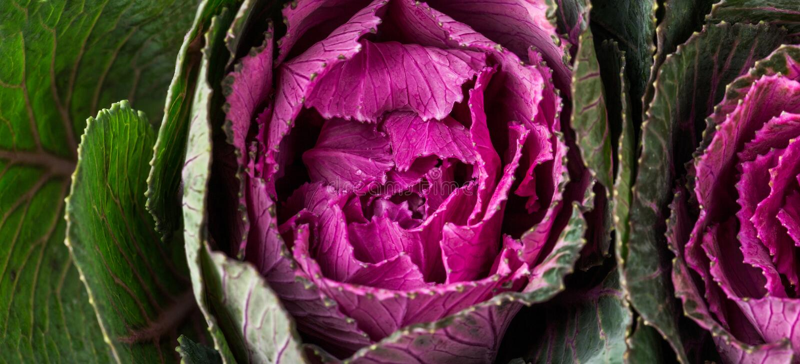 Fresh purple ornamental decorative cabbage. Healthy food, fresh vegetables. Top view royalty free stock images