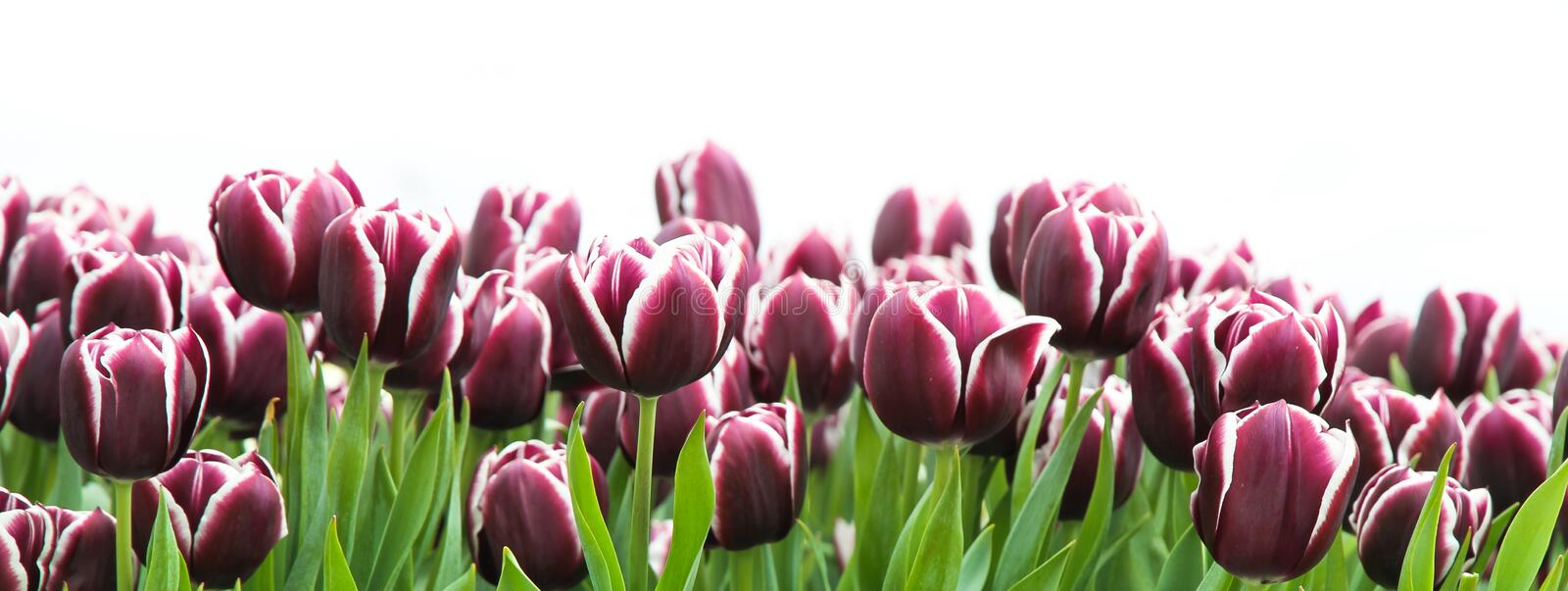 Fresh purple and white tulips as frame border isolated in a clean white wide banner spring summer panorama format background royalty free stock photo