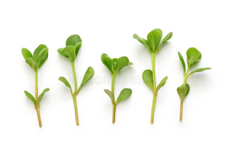 Fresh purslane, edible weeds stock image