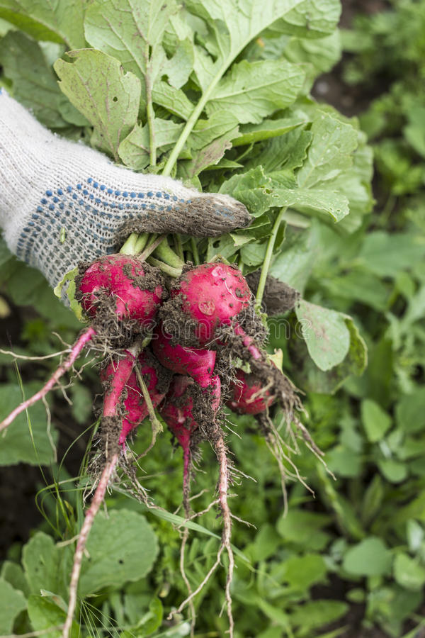 Fresh radish crop royalty free stock photos