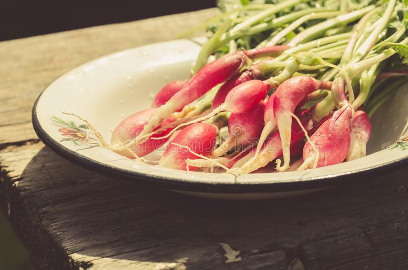 Fresh radish in a garden/rustic style: fresh radish in a garden on sunlight, selective focus royalty free stock photos