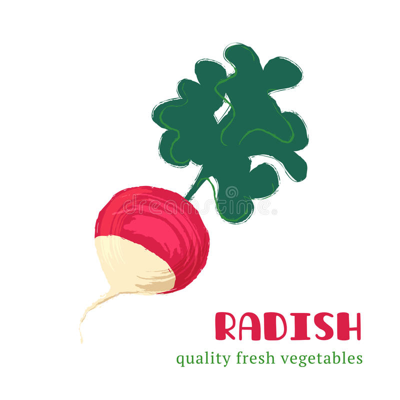 Fresh radish isolated on white background. royalty free illustration