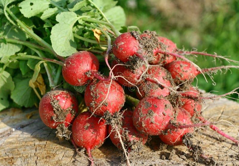 Fresh radishes royalty free stock image