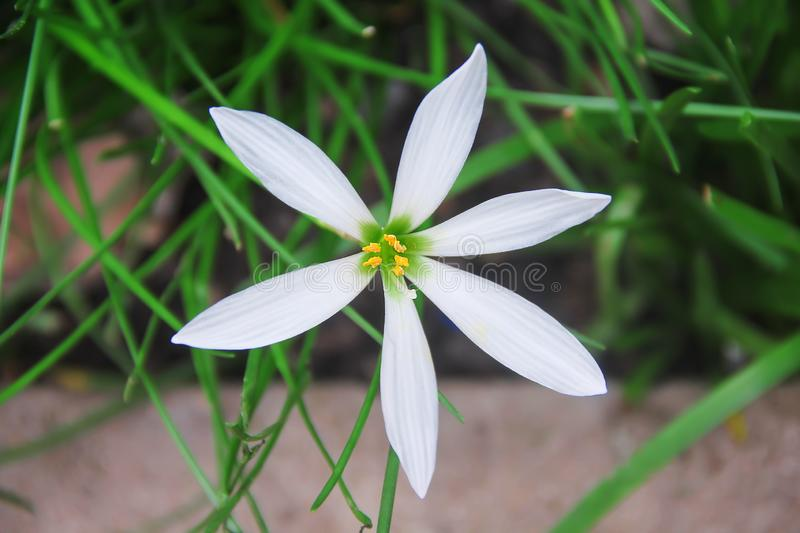 Fresh rain lily flower with white petals and yellow pollen top view blooming in nature garden background. Close up Fresh rain lily flower with white petals and stock photography