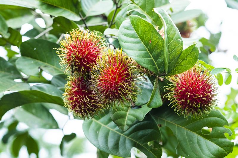 Fresh Rambutan fruit with sweet red shell, Thailand. stock image