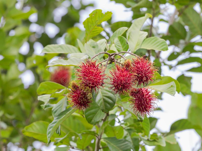Fresh Rambutan Nephelium lappaceum tropical fruits hanging on brunch tree. In the garden royalty free stock photo