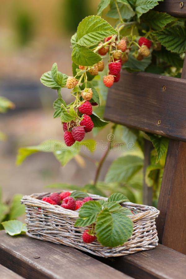 Fresh raspberries in a basket are on the bench royalty free stock images