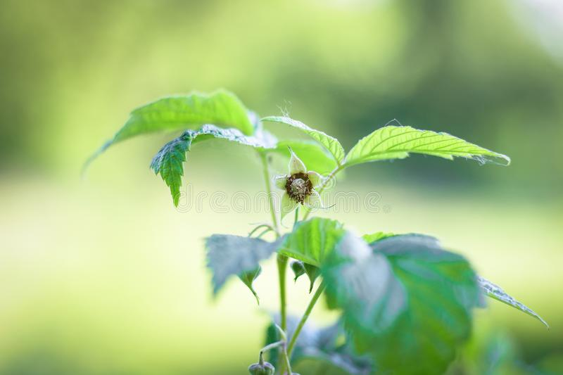 Fresh raspberry bush green leaves which are backlit by the sun on a blurry light background royalty free stock photography