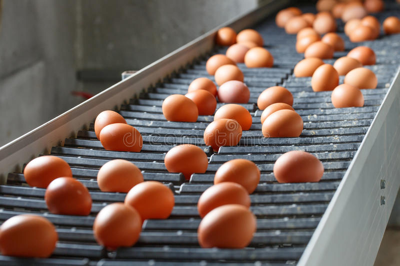 Fresh and raw chicken eggs on a conveyor belt stock images
