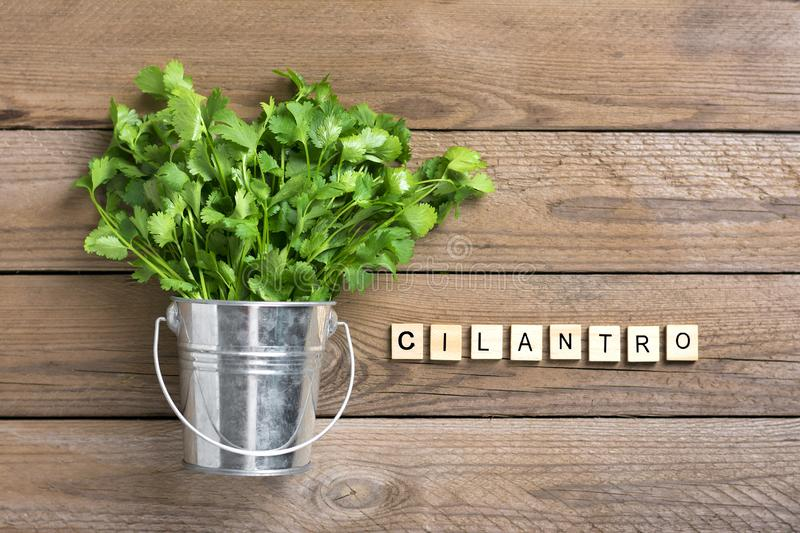 Fresh raw cilantro bunch in metal bucket on wooden background. Organic cilantro closeup in rustic style, vegetarian food.  Flat lay Parsley indispensable royalty free stock image
