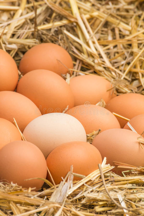 Fresh raw eggs. Freerange fresh raw eggs in recycled paper egg cartons or on the straw royalty free stock image
