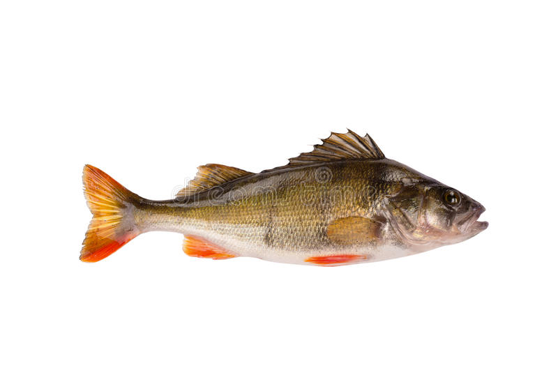 Fresh raw fish perch isolated on white background. One fresh raw fish perch isolated on white background royalty free stock photo