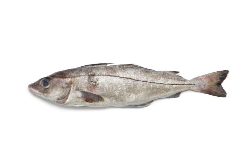 Fresh raw haddock stock images