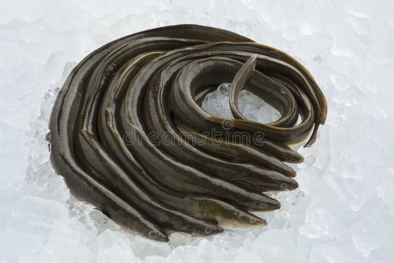 Fresh raw eels on ice. Fresh raw mature European eels on ice stock photography