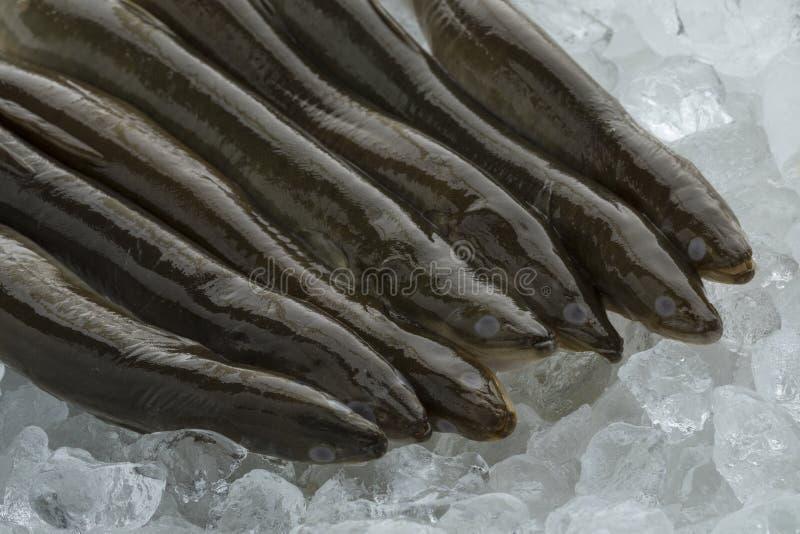 Fresh raw eels on ice. Fresh raw mature European eels on ice royalty free stock photography