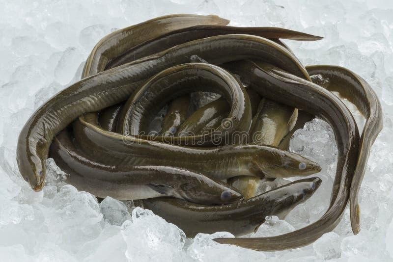 Fresh raw eels on ice. Fresh raw mature European eels on ice stock photo
