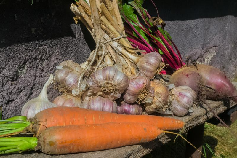 Fresh raw organic vegetables in the garden, Ripe carrots in the basket, beet, garlic.The concept of autumn vegetables stock photography