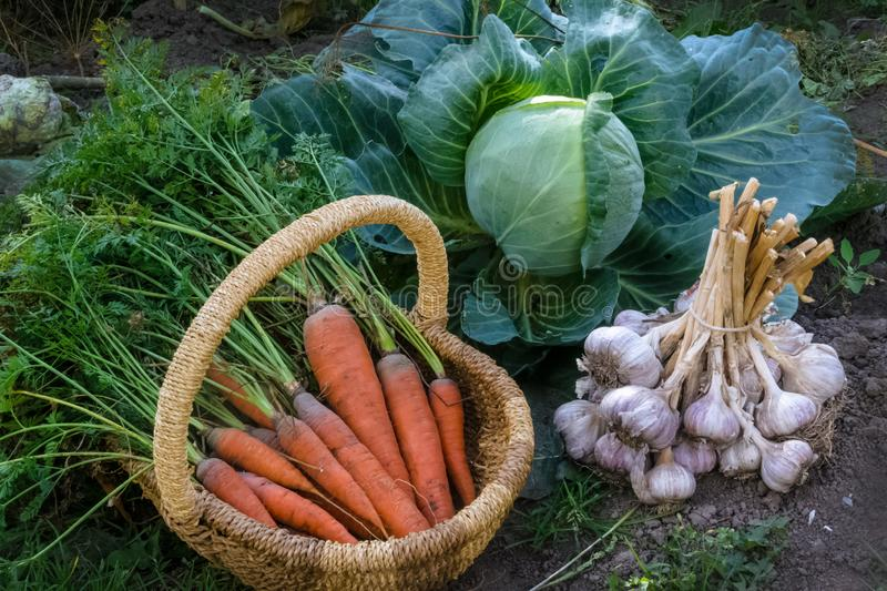 Fresh raw organic vegetables in the garden, Ripe carrots in the basket, cabbage, garlic.The concept of autumn vegetables royalty free stock image