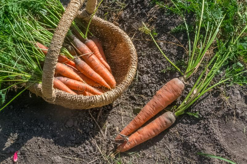 Fresh raw organic vegetables in the garden, Ripe carrots in the basket.The concept of autumn vegetables. Harvest royalty free stock photography