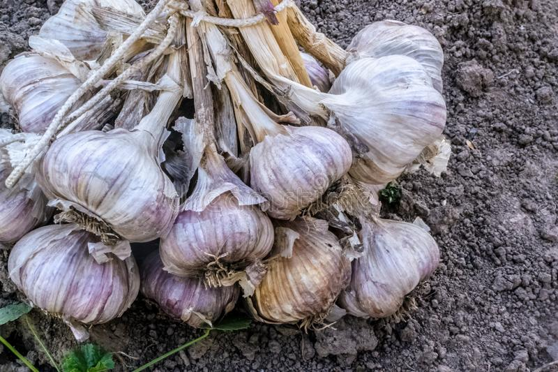 Fresh raw organic vegetables in the garden, Ripe garlic in a large bundle.The concept of autumn vegetables. Harvest royalty free stock photography