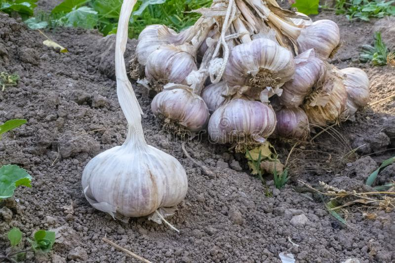 Fresh raw organic vegetables in the garden, Ripe garlic in a large bundle.The concept of autumn vegetables. Harvest stock photos