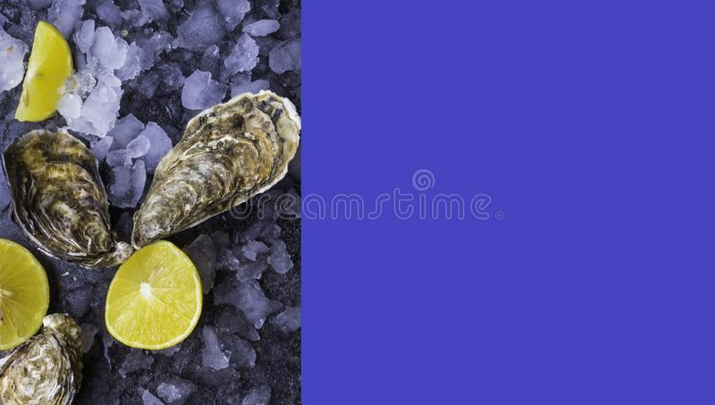 Fresh raw oysters on ice with lemon slices, mollusk of the Atlantic Ocean on trendy blue color background. Banner, copy space stock image