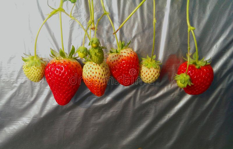 Fresh raw and ripe strawberry group on silver cover in the houseplant. royalty free stock photo
