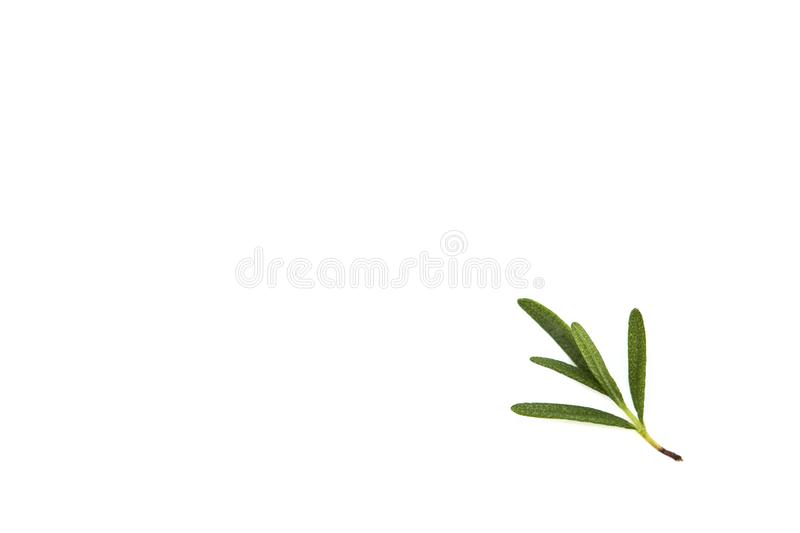 fresh raw rosemary on white background stock photography