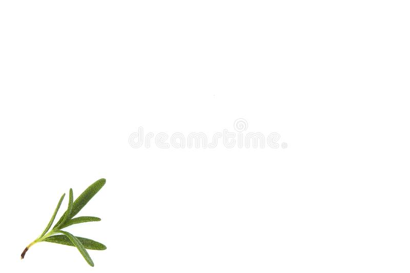 fresh raw rosemary on white background royalty free stock images