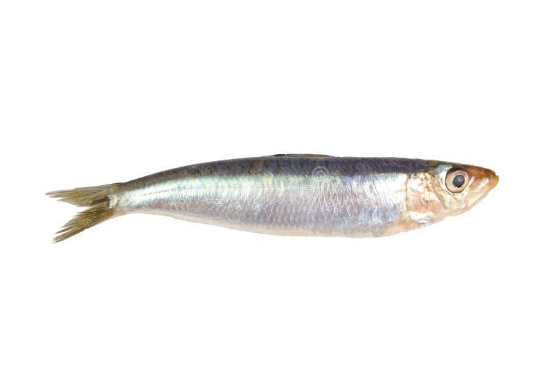 Fresh raw sardine isolated on a white background. Fresh raw sardine isolated on white background stock image
