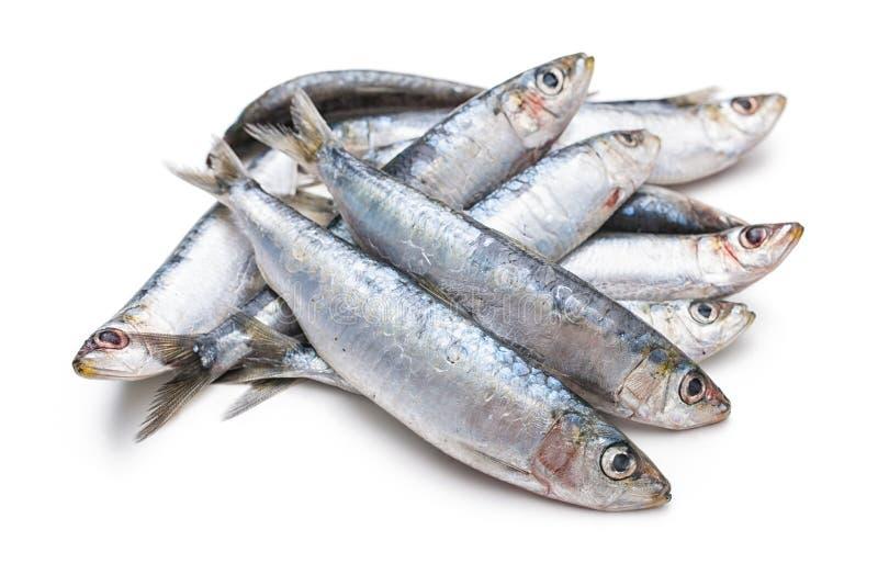Fresh raw sardines. Isolated on white background