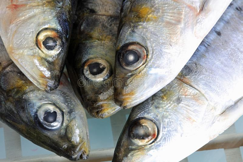 Fresh raw Sardines prepared for the Grill royalty free stock photos