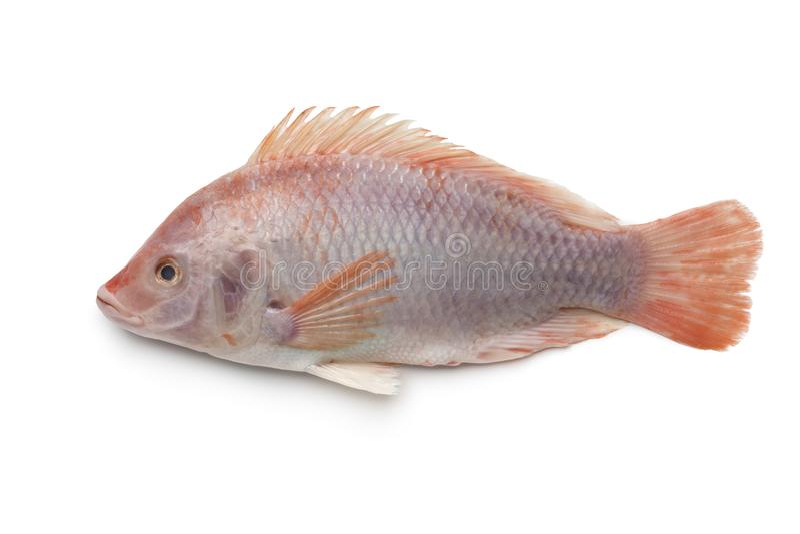 Fresh raw single red tilapia fish royalty free stock photo